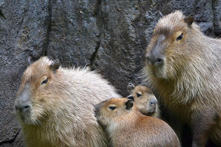 C =  Capybara