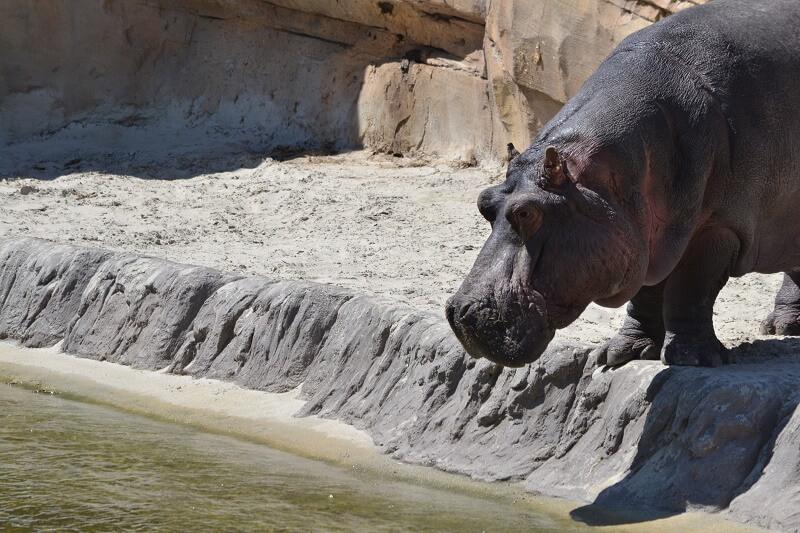 Ani-Pic ~ Nijlpaard