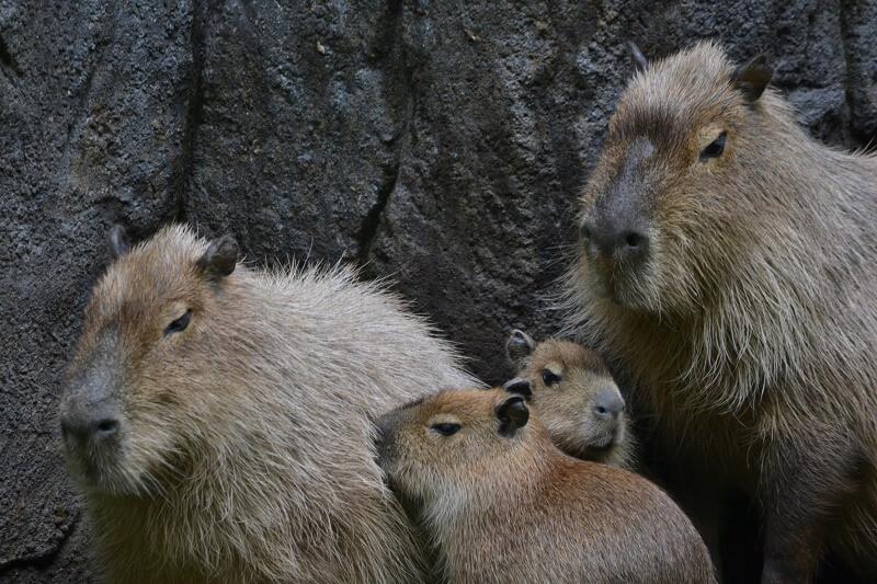 Ani-Pic ~ Capibara