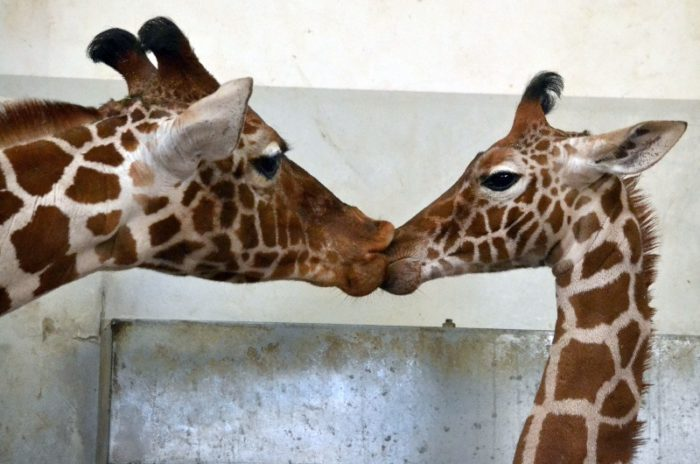 Ani-Pic ~Giraffe