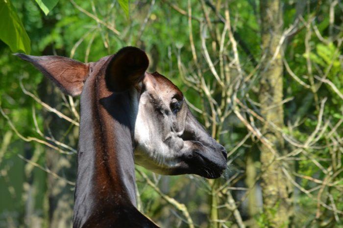 Ani-Pic ~ Okapi