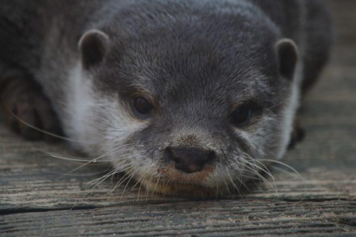Ani-Pic ~ Otter