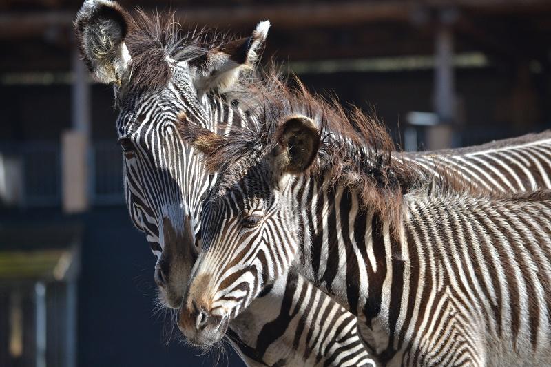 Ani-Pic ~ Zebra